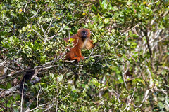 Red-bellied Lemur Stock Images