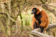 Red-bellied Lemur (Eulemur rubriventer) Stock Photography