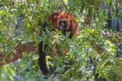 Red-bellied Lemur (Eulemur rubriventer) Stock Images