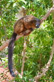 Red-bellied Lemur hanging on a tree branch. Photo of a Red-bellied Lemur (Eulemur rubriventer Stock Photos