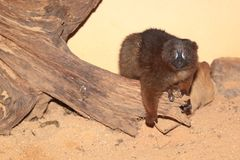 Red-bellied lemur royalty free stock images