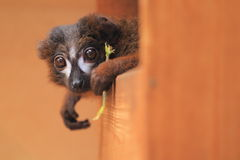 Red-bellied lemur Royalty Free Stock Photos