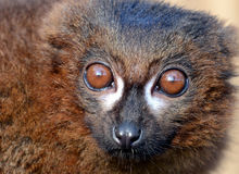Red-Bellied Lemur Portrait (Eulemur rubriventer) Royalty Free Stock Photos