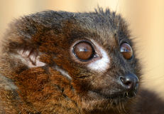 Red-Bellied Lemur Portrait (Eulemur rubriventer) Royalty Free Stock Images