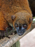 Red bellied lemur Stock Photo