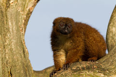 Red-bellied Lemur in a tree Stock Photography