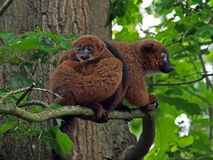 Red bellied lemur Royalty Free Stock Photo