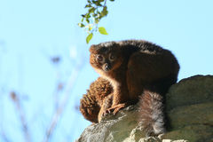 Red-bellied lemurs. A couple of young red-bellied lemurs Stock Image