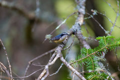 Red Bellied Nuthatch. Red Bellied Nuthatch deep in a boreal forest in north Quebec Canada. These birds busily search the trees for insects and grubs and are Royalty Free Stock Photo