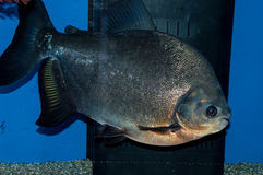 Red Belly Pacu Stock Photos