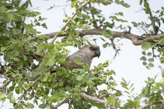 Red-bellied Parrot Poicephalus rufiventris Perched in a Tree Royalty Free Stock Photography