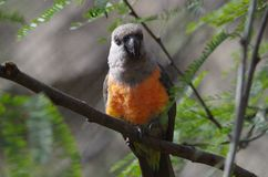 Red bellied parrot. Poicephalus rufiventris at the San Antonio Zoo Stock Images