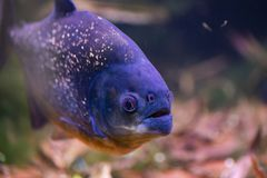 Red bellied piranha Royalty Free Stock Photography
