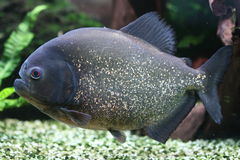 Red bellied piranha Royalty Free Stock Image