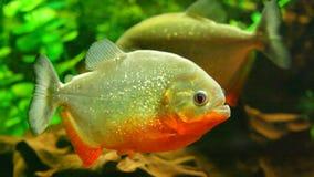 Red-bellied piranha in aquarium stock video