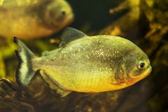 Red-bellied piranha close up, portrait photo royalty free stock photography