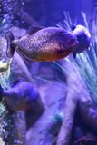 Red-bellied piranha fish in aquarium with illumination. Close-up view stock image