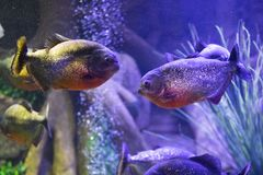 Red-bellied piranha fish in aquarium with illumination. Close-up view stock images