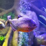 Red-bellied piranha fish in aquarium with illumination. Close-up view royalty free stock photo