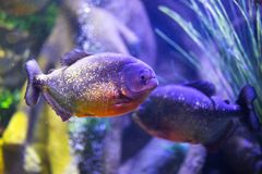 Red-bellied piranha fish in aquarium with illumination. Close-up view royalty free stock image