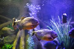 Red-bellied piranha fish in aquarium with illumination. Close-up view stock photos