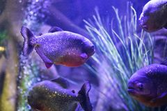 Red-bellied piranha fish in aquarium with illumination. Close-up view royalty free stock photos