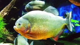 Red-Bellied Piranha 4K stock footage