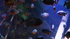 Red-bellied Piranha in mangrove roots stock footage