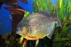 Red-bellied piranha Royalty Free Stock Image