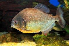 Red-bellied piranha. (Pygocentrus nattereri Royalty Free Stock Photography