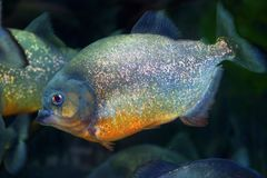 Red-bellied piranha. Pygocentrus nattereri  in Brazil Royalty Free Stock Photography