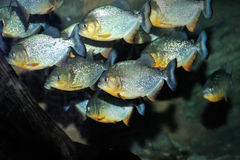 Red Bellied Piranha Royalty Free Stock Photos