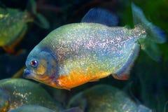 Red-bellied piranha. Pygocentrus nattereri  in Brazil Stock Photos