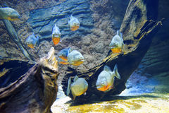 Red-bellied piranha Stock Photography