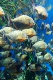Red bellied piranha school swimming underwater (Serrasalmus nattereri ) Royalty Free Stock Photos