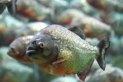 Red bellied piranha swimming underwater. Royalty Free Stock Images