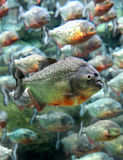 Red bellied piranha swimming underwater. ( Serrasalmus nattereri ) Stock Photo