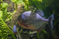 Red Bellied Piranha swims in dark waters Stock Photos