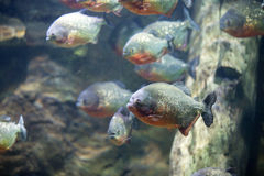 Red bellied piranha in the water Stock Images