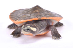 Red-bellied short neck turtle, Emydura subglobosa. The Red-bellied short neck turtle, Emydura subglobosa, is a brightly colored turtle species found on Papua New Stock Images