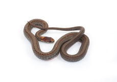 Red-bellied Snake. Photograph of a small Red-bellied Snake isolated against a white background royalty free stock photo