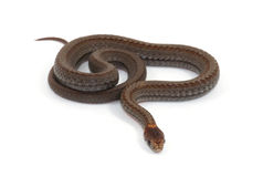 Red-bellied Snake. Photograph of a small Red-bellied Snake isolated against a white background Stock Images
