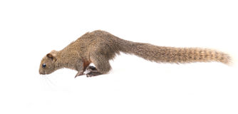 Red-bellied squirrel isolated. Red-bellied squirrel sit on white background Stock Images