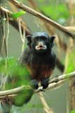 Red-bellied tamarin Royalty Free Stock Photography