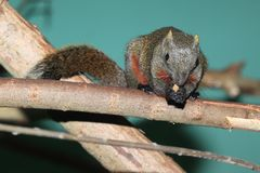 Red-bellied tree squirrel. On the wood stock image