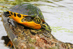 Red-bellied Turtle Royalty Free Stock Image