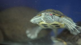 Red-bellied turtle in an aquarium.  stock video footage