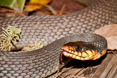 Red-bellied Water Snake Stock Photography