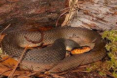 Red-bellied Water Snake Nerodia erythrogaster. A Red-bellied Water Snake coiled by a log in Florida stock photo
