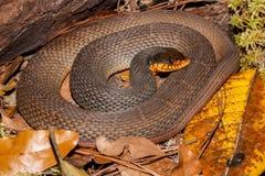 Red-bellied Water Snake Nerodia erythrogaster. A Red-bellied Water Snake coiled by a log in Florida stock image